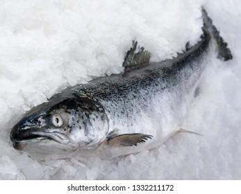salmon fish lying in the ice