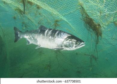 Salmon fish stays close to the fishermen net