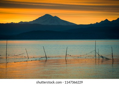 Salmon Fish Traps on Bellingham Bay, Washington. With Mt. Baker in the background the fishing nets tied to stakes capture sockeye salmon to be harvested and sold to a fish buyer.