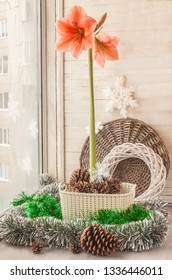 Salmon Hippeastrum  Rilona  in a basket on the window next to a Christmas decoration