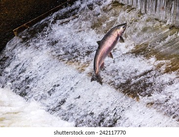 Salmon Jumping Dam Issaquah Hatchery Washington.  Salmon swim up the Issaquah creek and caught in the Hatchery where they will be killed for their eggs and sperm to create more salmon.