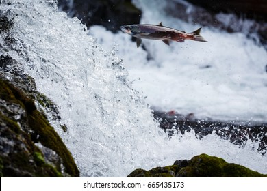 Salmon jumps high traveling up river to spawn