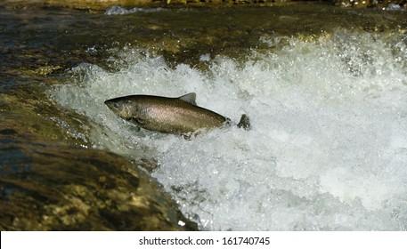 Salmon leaping rapids