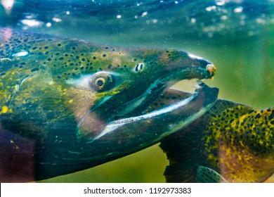 Salmon Oncorhynchus tshawytscha Issaquah Hatchery Washington. Salmon swim up Issaquah creek from  sea to return home to hatchery..