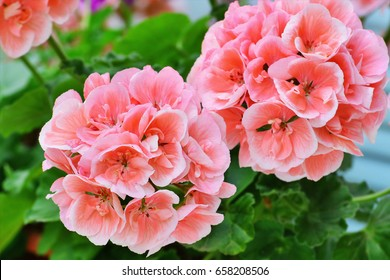 Salmon pink pelargonium flowers closeup. Horseshoe pelargonium or Pelargonium zonale.