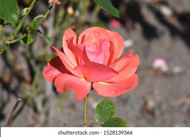 A salmon pink rose named 'Tintinaria', the distinctive colour represents passion, desire, enthusiasm and excitement