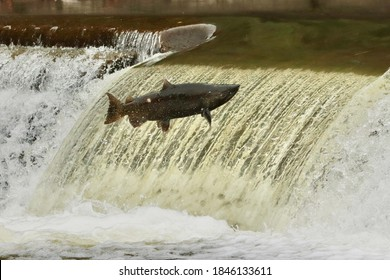 Salmon swim upstream to spawn in fall salmon run.