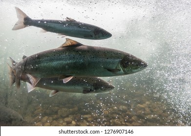 Salmon swimming against river current. Norway, Europe. Stavanger region, Rogaland, Ryfylke scenic route. Salmon in these rivers is a very significant part of the worldwide stock of Atlantic salmon.