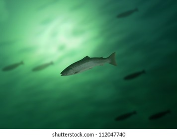 salmon in water on background of the fish's shoal