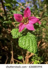 Salmonberry blossom