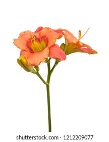 "Salmon-colored Daylily (hemerocallis) ""Elegant Candy""  on a white background isolated."