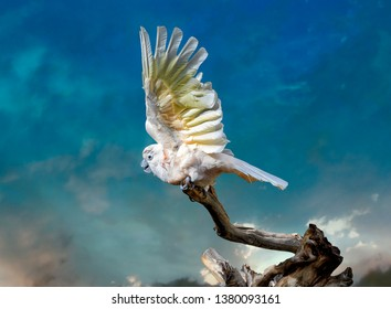 The Salmon-crested cockatoo (Cacatua moluccensis), also known as the Moluccan cockatoo, is a cockatoo endemic to the Seram archipelago in eastern Indonesia. Threatened.