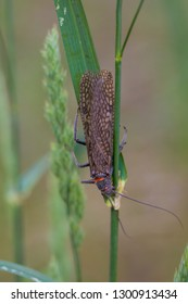 Salmonfly bug waiting on the leaves of grass along the banks of the river in the Lower Deschutes.