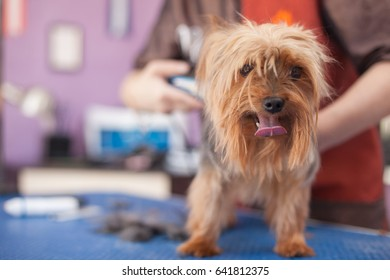 salon grooming, haircut Yorkshire Terrier