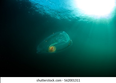 Salp under the sun in the deep ocean