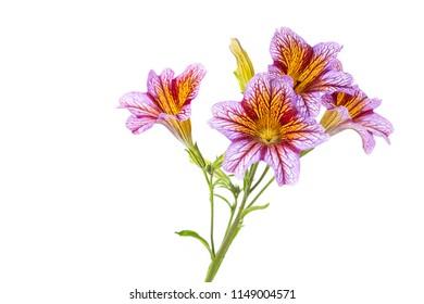 Salpiglossis siunata flowers isolated on white background