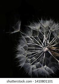 Salsify on black background. big dandelion on a black background. Copy space