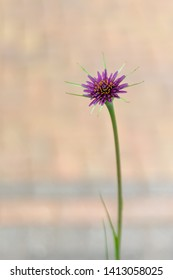 Salsify, Purple Salsify, John-go-to-bed-at-noon, Oyster plant, Vegetable oyster, Goatsbeard wild flower