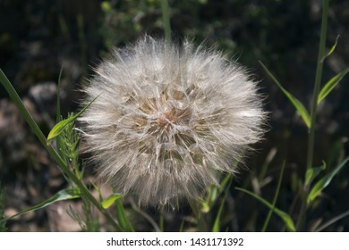 Salsify. Tragopogon dubius. Paington. Torbay. Goat's beard seed head. Honey plant. Kazakhstan.