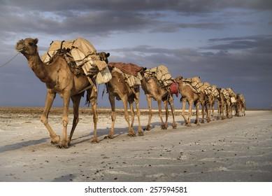 Salt caravan from Karoum lac in Ethiopia
