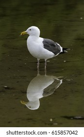 Salt Creek Seagull