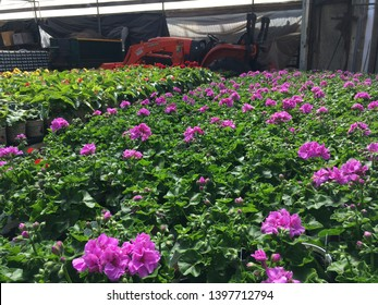 Salt Lake City, Utah / U.S.A. - May 12th 2019: Beautiful purple begonias inside a hothouse with a Kubota tractor in the background resting after working hard to make the Mothers Day holiday a success