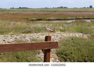 Salt marsh at the National park Wadden Sea in Friesland, Northern Germany showing a redshank (Tringa totanus) on a wooden fence and purple blooming sea lavenders in the background, copy space for text