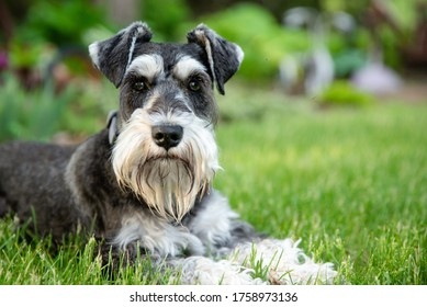 salt and pepper miniature schnauzer laying on green grass looking directly at viewer.