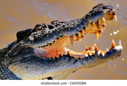 Salt water crocodile Australia