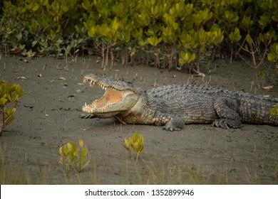 Salt water Crocodile basking on mangrove bank, Crocodilus porosus, Sunderbans, West Bengal, India