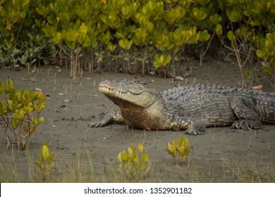 Salt water Crocodile basking on bank, Crocodilus porosus, Sunderbans, West Bengal, India