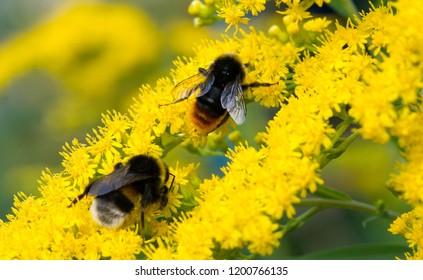 Bombus Impatiens Common Eastern Bumble Bee Stock Photo (Edit