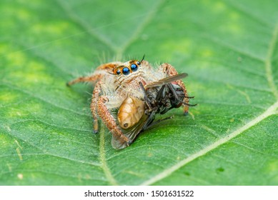 Salticidae /Jumping Spider  eating on the leaves