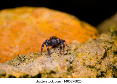 Salticidae spider. Little spider looking at the camera.
