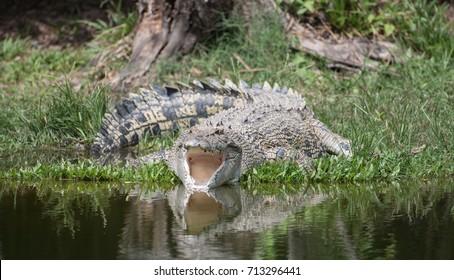 Saltie (saltwater crocodile) in Kakadu NP