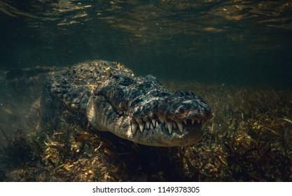 Saltwater american crocodile closeup underwater shot