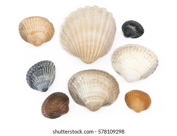 saltwater clams