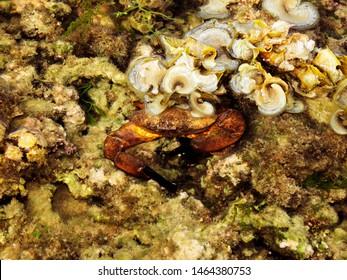Saltwater crab closeup, Kurusadai Island, Gulf of Mannar Biosphere Reserve, Tamil Nadu, India.