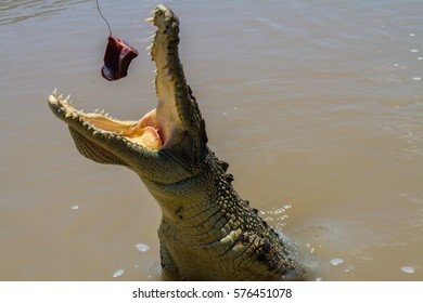 Saltwater crocodile attack
