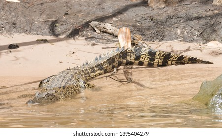 Saltwater crocodile by the banks of the Mary River in Kakadu, Australia