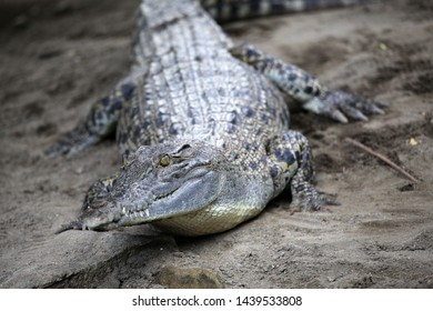 The saltwater crocodile is a crocodilian native to saltwater habitats and brackish wetlands from India's east coast across Southeast Asia and the Sundaic region to northern Australia and Micronesia