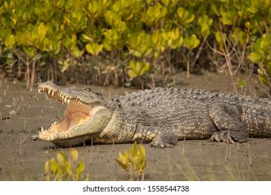Saltwater Crocodile, Crocodilus porosus, Sundarbans, West Bengal, India