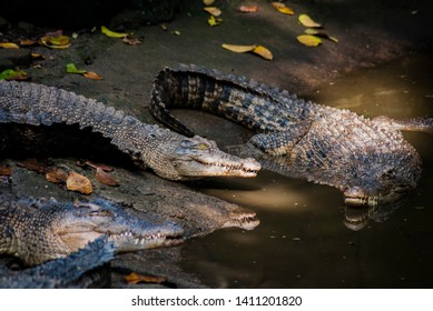 The saltwater crocodile (Crocodylus porosus) is a crocodilian native to saltwater habitats and brackish wetlands, one of the biggest and the largest crocodile.