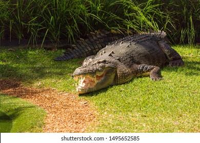 saltwater crocodile (Crocodylus porosus) is a crocodilian native