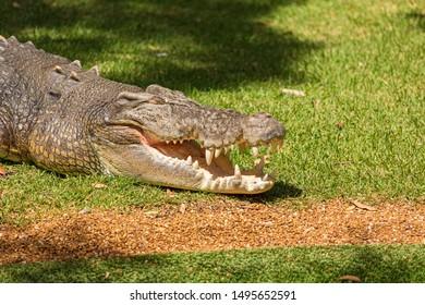 saltwater crocodile (Crocodylus porosus)  a crocodilian basking