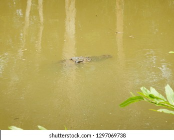 Saltwater crocodile (Crocodylus porosus) hiding and swimming under the surface of a muddy pond in tropical Northern Queensland