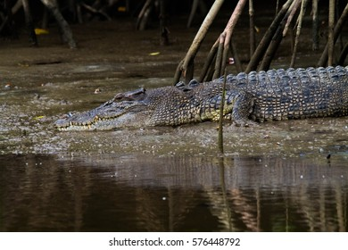 Saltwater Crocodile in the Daintree Rainforest