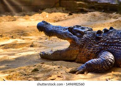 Saltwater Crocodile Female - Crocodylus porosus