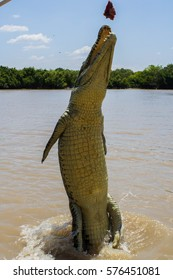 Saltwater crocodile jumping for buffalo meat