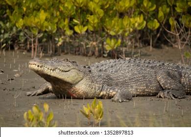 Saltwater Crocodile in mangrove, Crocodilus porosus, Sunderbans, West Bengal, India
